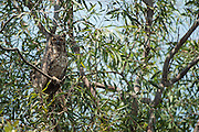 Great Horned Owl (Bubo virginianus nacurutu)<br /> Northern Pantanal<br /> Mato Grosso<br /> Brazil
