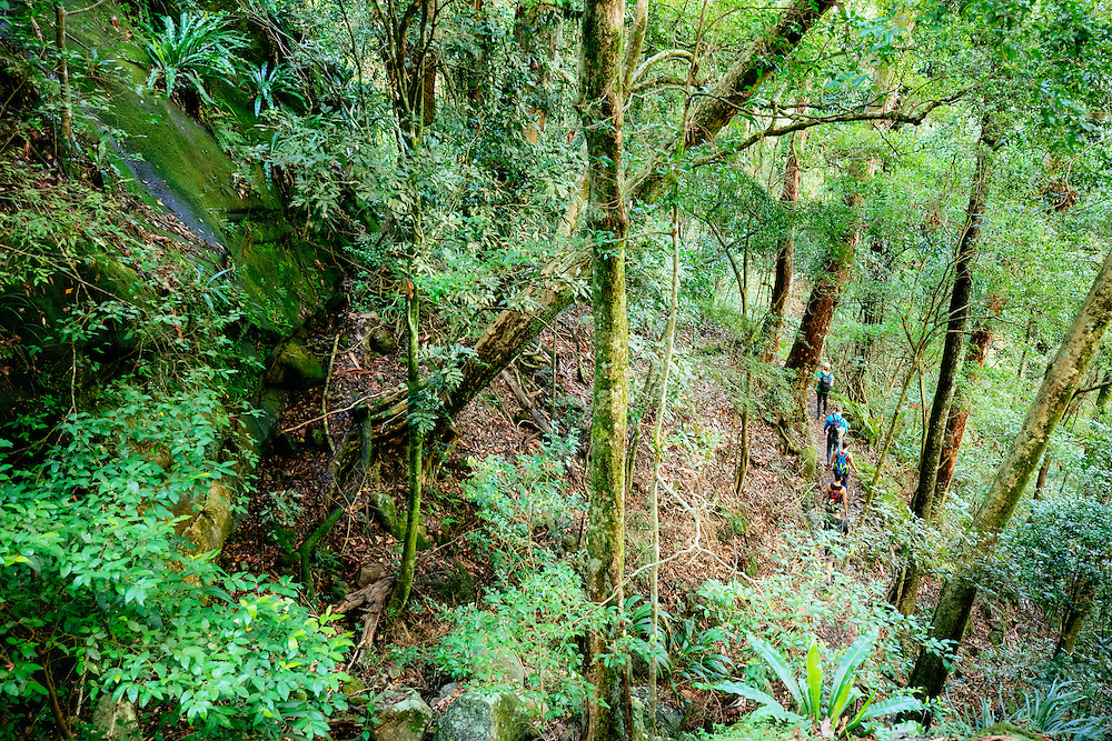 A small group of hikers are seen from above hiking through the subtropical rainforest of Lamington National Park. This is along the Illinbah Circuit near Binna Burra.
