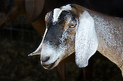 Head shot of a brown, black, and white dairy goat.