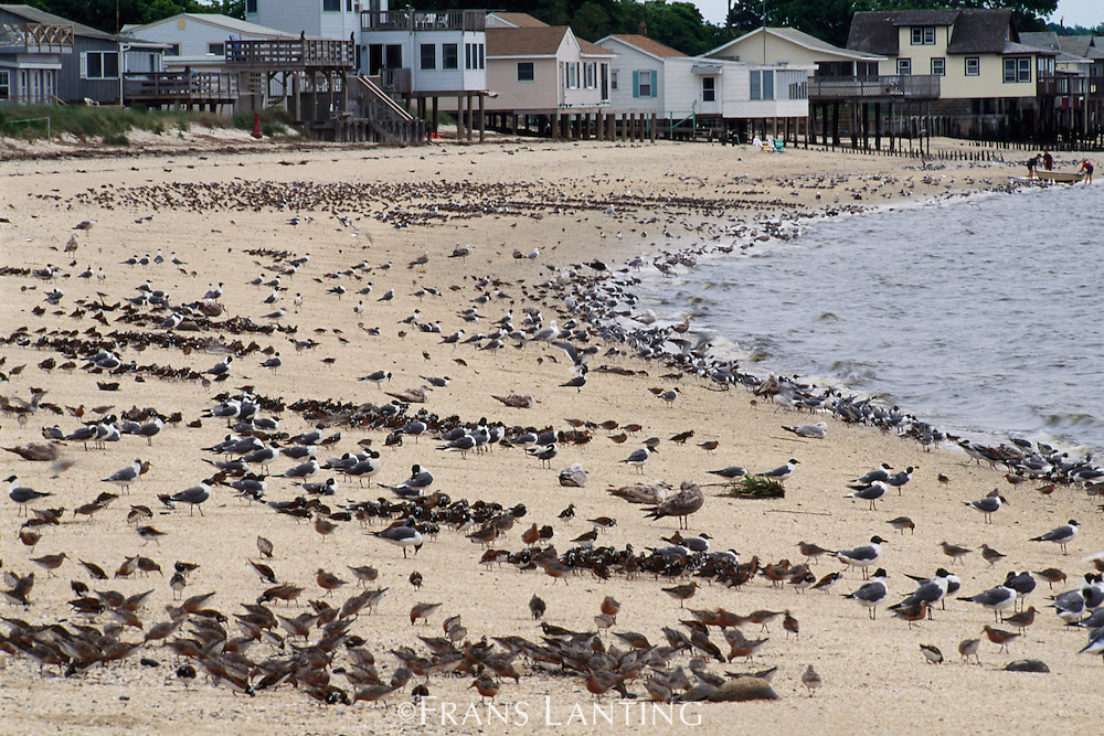 Shorebirds, Delaware Bay, New Jersey