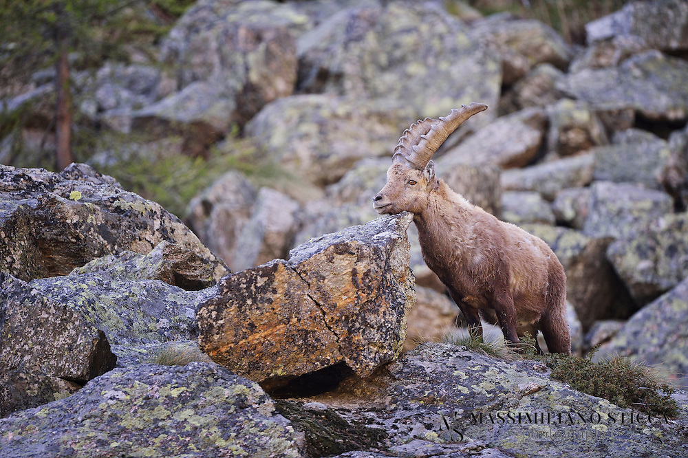 The Alpine ibex (Capra ibex), also known as the steinbock, is a species of wild goat that lives in the mountains of the European Alps. It is a sexuality dimorphic species with larger males who carry larger, curved horns. The coat colour is typically brownish grey. Ibex tend to live in steep, rough terrain above the snow line. They are also social, although adult males and females segregate for most of the year, coming together only to mate. Four distinct groups exist; adult male groups, female-offsping groups, groups of young individuals, and mixed sex groups.