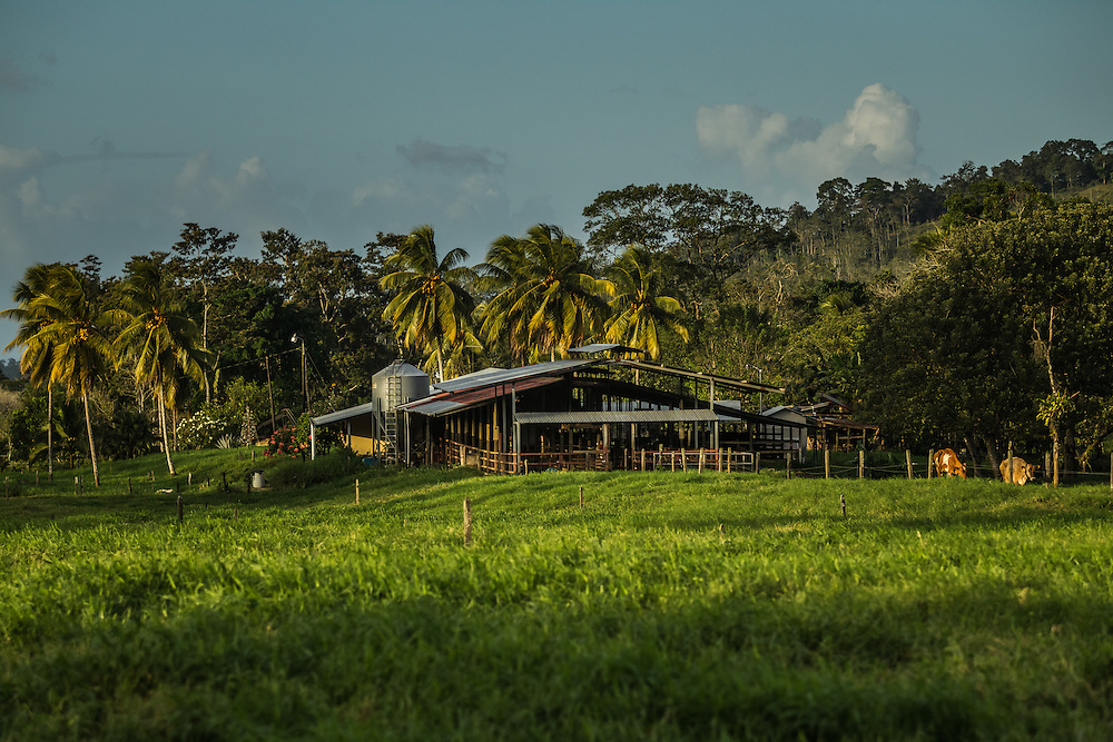 A dairy farm in Costa Rica. Rancers with land and cattle near by pineapple plantations say the crops produce flies that make their cattle sick.