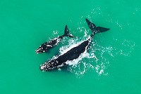 Southern Right Whale with her calf resting on the surface, De Hoop Marine Protected Area, Western Cape, South Africa