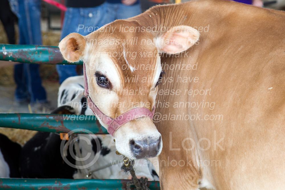01 August 2014:   McLean County Fair.  Cow barn! (Yoder farms, Danvers, IL)