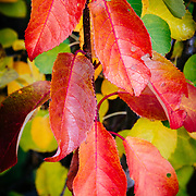 A close up of Hawthorne leaves in peak fall color at Oxbow Bend.