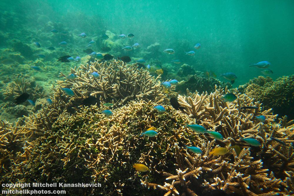 Fish swimming around coral. Uleveo, Maskelyne Island, Malampa Province, Malekula, Vanuatu