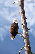 A bald eagle (Haliaeetus leucocephalus) is perched on a dead tree limb overlooking the Chilkat River watching for salmon imn the Chilkat Bald Eagle Preserve in Southeast Alaska. Winter. Morning.