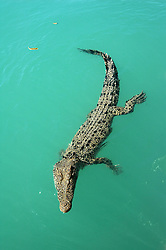 A saltwater crocodile cruises past in Sampson Inlet on the Kimberley coast.  Crocodylus porosus is relatively common in both saltwater and freshwater on the Kimberley coast.