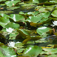 Magnificent water flowers in Anacostia National Park, Washington, DC