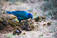 Cape glossy starling searching for insects amongst elephant dung, Addo Elephant National Park, Eastern Cape, South Africa
