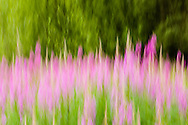 In-camera motion blur of Common Fireweed (Epilobium angustifolium) at Eklutna Valley in Southcentral Alaska. Summer. Afternoon.