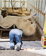 Ron Vanderpol from Molino. Florida, works on his two male lions in the truck before moving them inside the expo center.