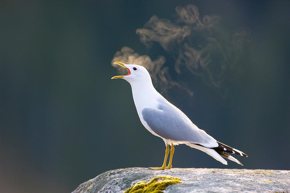 Vocalising common gull