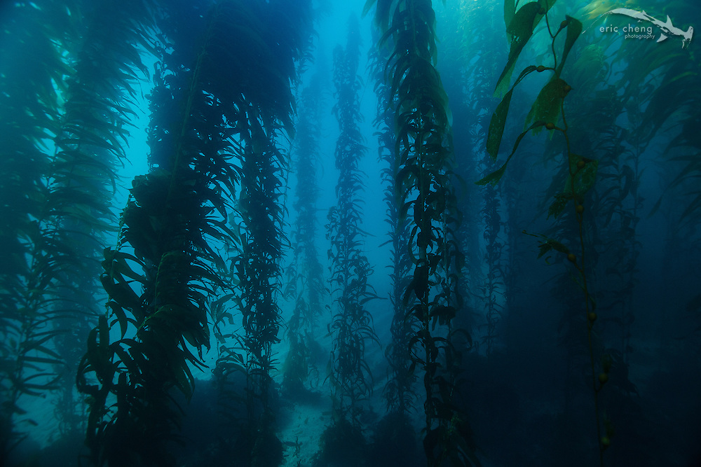Kelp forest, Crevice Cave Wall, Santa Barbara Island, Channel Islands, California, United States