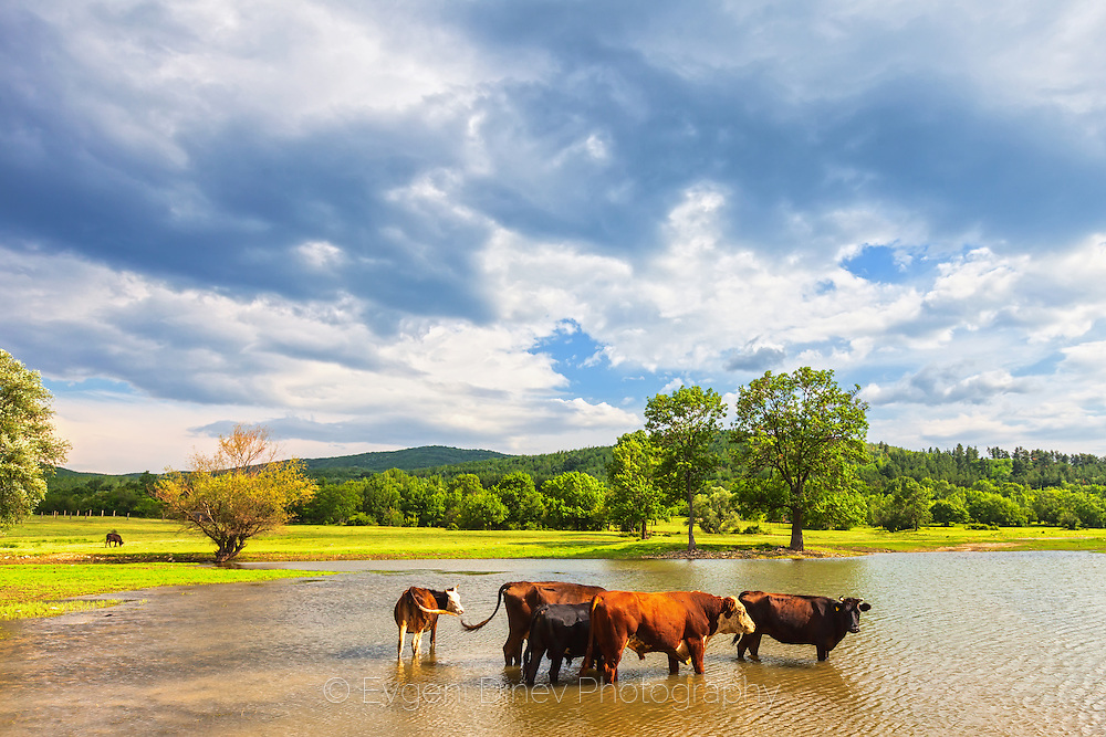 Cows in the lake
