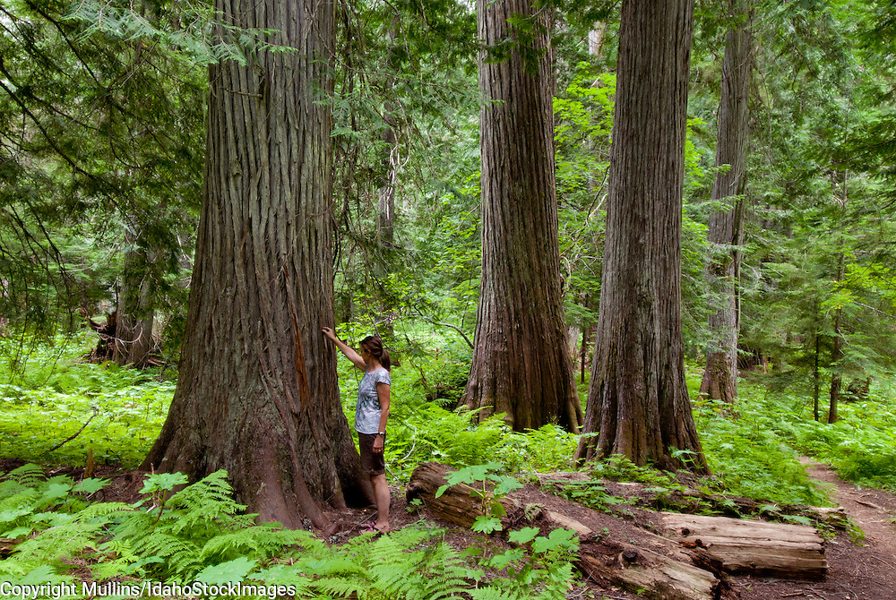 Woman standing by western red cedar in the Roosevelt Grove of Ancient Cedars in northern Idaho near Priest Lake
