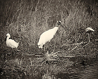 Snowy Egret, Wood Stork, and Immature White Ibis at Big Cypress National Preserve in Florida. Image taken with a Nikon D700 and 28-300 mm VR lens (ISO 200, 300 mm, f/6.3, 1/320 sec). Image converted to B&W with Capture One Pro 7.