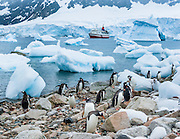 "Gentoo Penguins rest amid icebergs beached on the continent of Antarctica at Neko Harbor. We cruised here on the red and white ship M/S Explorer in February 2005 and made a wet landing using Zodiac boats. Glaciers calve icebergs into the Southern Ocean from Graham Land, the north portion of the Antarctic Peninsula, in Antarctica. An adult Gentoo Penguin (Pygoscelis papua) has a bright orange-red bill and a wide white stripe extending across the top of its head. Chicks have grey backs with white fronts. Of all penguins, Gentoos have the most prominent tail, which sweeps from side to side as they waddle on land, hence the scientific name Pygoscelis, ""rump-tailed."" As the the third largest species of penguin, adult Gentoos reach 51 to 90 cm (20-36 in) high. They are the fastest underwater swimming penguin, reaching speeds of 36 km per hour."