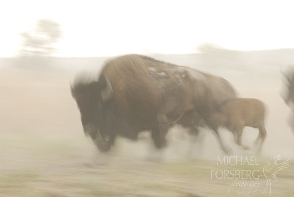 Buffalo Gap National Grassland, South Dakota..Bison and calf stampede in cloud of dust on Cheyenne River valley..