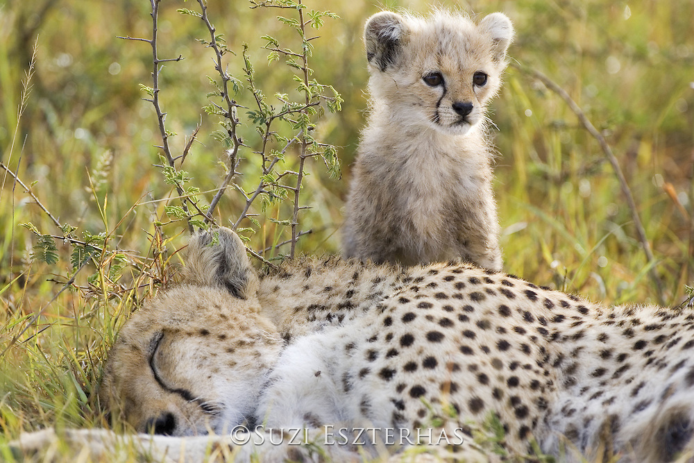 Cheetah<br /> Acinonyx jubatus<br /> Mother and 8 week old cub(s)<br /> Maasai Mara Reserve, Kenya