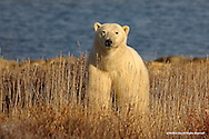 Polar Bear<br />