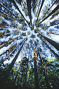 Evergreen trees viewed from below.