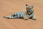Bengal tiger cub, six months old. Tadoba NP, India.