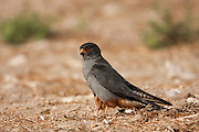 Red footed falcon (falco vespertinus) male standing. This bird of prey is found in eastern Europe and Asia, but has become a near-threatened species (as of 2008) due to habitat loss and hunting. It preys mainly on large insects but also feeds on small mammals, amphibians, reptiles and birds. Photographed in Israel in October