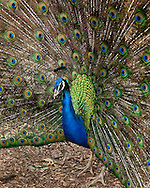 Peacock, Peacock feathers, peacock tail, beautiful peacock, photo of a peacock