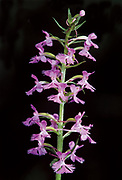 Small purple-fringed orchid (Platanthera psycodes)<br />