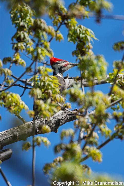 Pileated woodpecker (Dryocopus pileatus) in maple tree, Winnipeg, Manitoba, Canada