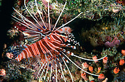 Antennata Lionfish, Pterois antennata, here photographed in the Maldives.