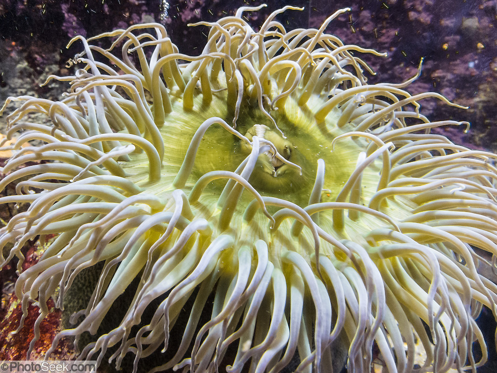 Yellow sea anemone, Monterey Bay Aquarium, California, USA. The Monterey Bay Aquarium (MBA) was founded in 1984 on the site of a former sardine cannery on Cannery Row along the Pacific Ocean shoreline. Fresh ocean water is circulated continuously from Monterey Bay, filtered for visibility during the day and unfiltered at night to bring in food. Monterey was the capital of Alta California from 1777 to 1846 under both Spain and Mexico. In 1846 the US flag was raised over the Customs House, and California was claimed for the United States.