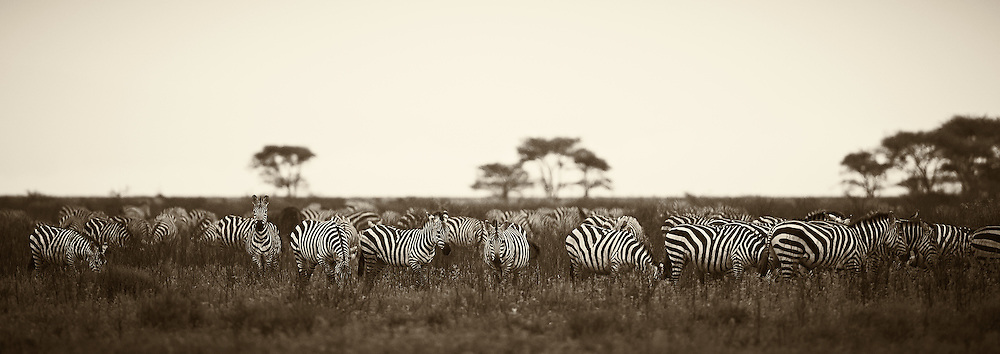 &ldquo;Serengeti Zebras&rdquo;                                        Tanzania<br />