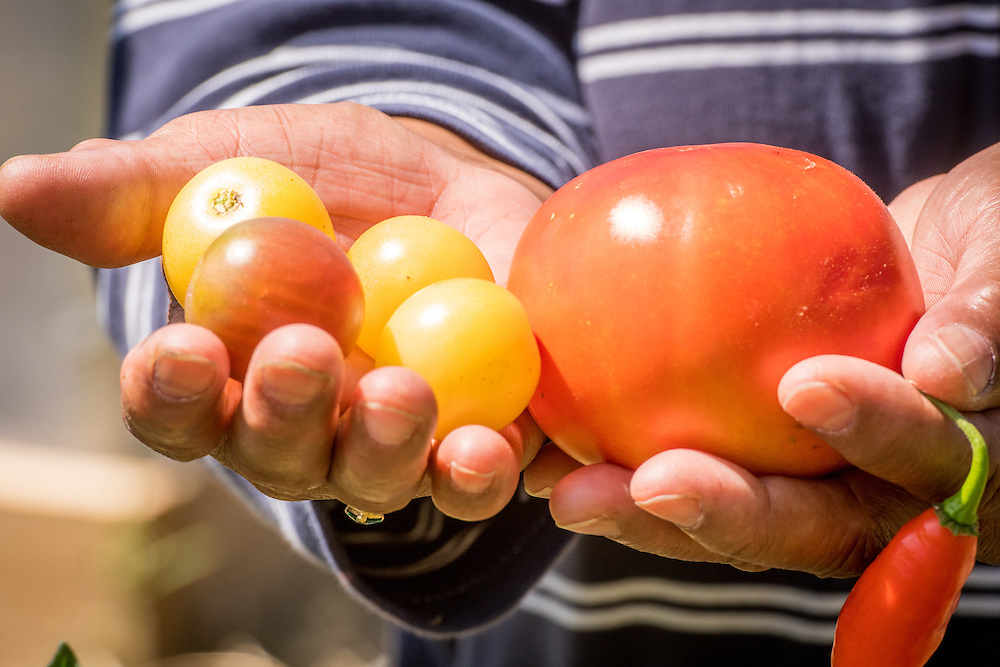 Small tomatoes and a pepper are presented in an urban vegetable garden in Baltimore city, Maryland.