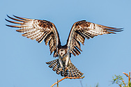 Osprey landing, talons spread ready to grip, Florida, © 2007 David A. Ponton