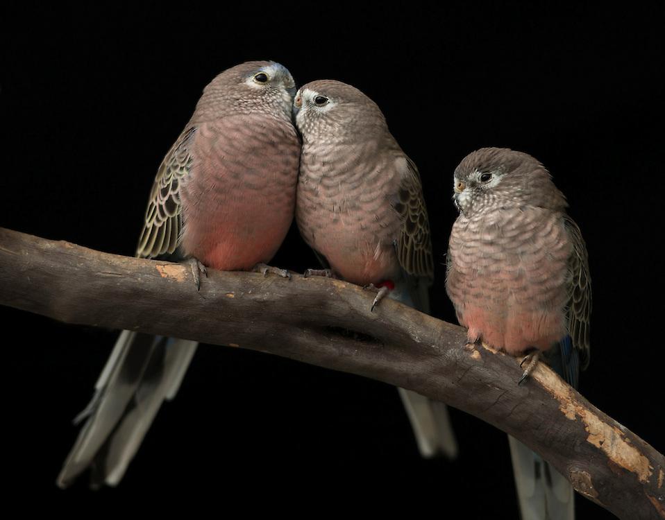 Rosey Bourkes, Parrot (Neopsephotus bourkii); Captive, credit: Pandemonium Aviaries/M.D.Kern