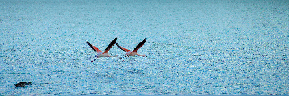 Flamingos take off from a lake in Torres del Paine in southern Chile