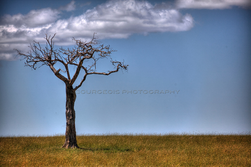 A pear tree stands alone on the Serengeti