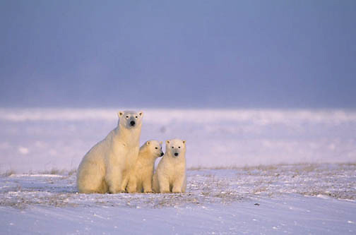 Polar Bear, (Ursus maritimus) Mother and cubs waiting for Hudson Bay to freeze over. Churchill, Manitoba. Canada.