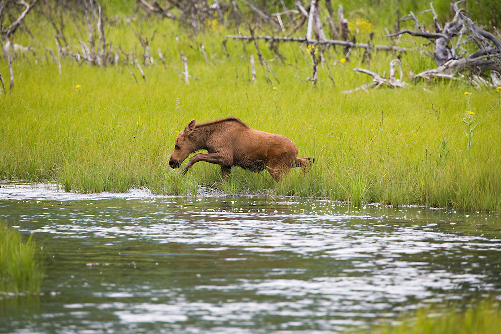 Baby moose running along pond to catch up with cow moose in Eagle River Nature Center, Chugach State Park in Southcentral Alaska. Summer. Afternoon.