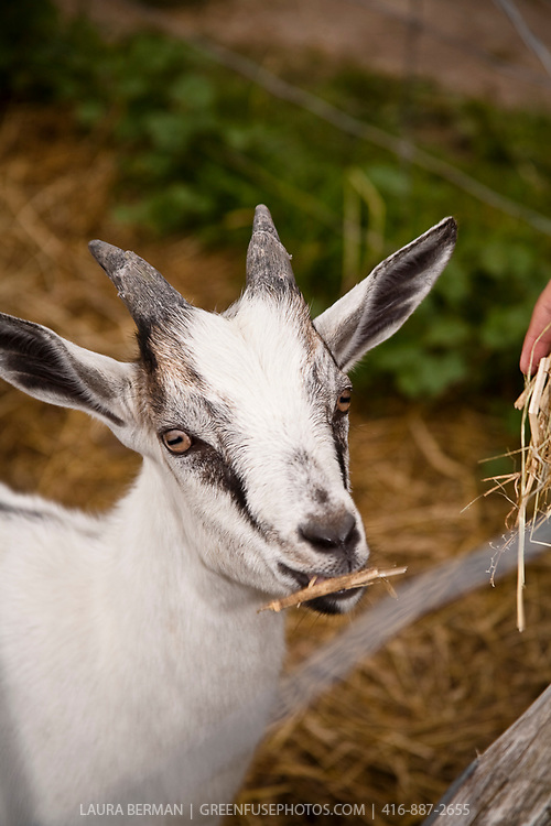 Young male Nubian goat