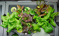 AeroGarden Farm #1. Lettuce ready for first harvest (20 days). Image taken with a Nikon D850  camera and 60 mm f/2.8 macro lens (ISO 1400, 60 mm, f/11, 1/125 sec)
