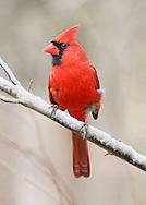 A Red Bird, The Northern Cardinal Male In Winter, Cardinalis cardinalis