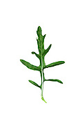 PERENNIAL WALL-ROCKET Diplotaxis tenuifolia. Height to 80cm. Branched perennial with an unpleasant smell when crushed; waste ground, usually near the sea. Flowers 15-30mm across with 4 yellow petals (May-Sept). Fruits cylindrical with 2 rows of seeds. Leaves pinnately lobed. Status mainly coastal.