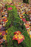 Low contrast  light on an overcast day, brings out the contrasting colors and textures of  moss and fallen maple leaves. Southbranch region of Baxter State Park, Maine, USA