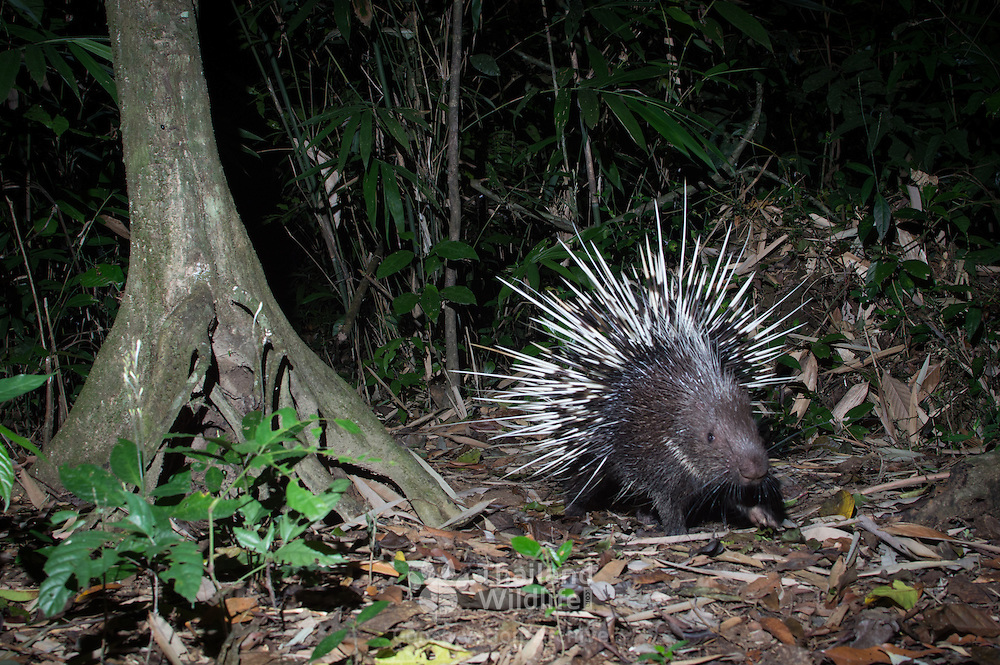 The Malayan porcupine or Himalayan porcupine (Hystrix brachyura) is a species of rodent in the family Hystricidae.