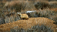 Prairie dog in the wetlands of the Arapaho National Wildlife Refuge. Image taken with a Nikon D300 camera and 80-400 mm VR lens (ISO 200, 400 mm, f/8, 1/1000 sec).
