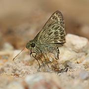 Halpe hauxwelli, the Pale marked ace skipper, Hesperiidae, seen in Chaloem Phrakiat Thai Prachan National Park, Thailand.