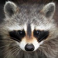 North American Raccoon, Procyon lotor, portrait